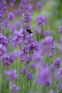 Lawenda: więcej życia w Twoim ogrodzie
