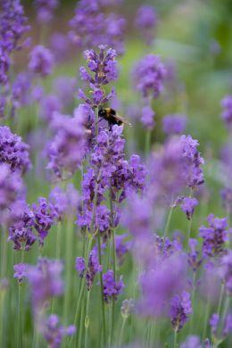 Lawenda: więcej życia w Twoim ogrodzie image