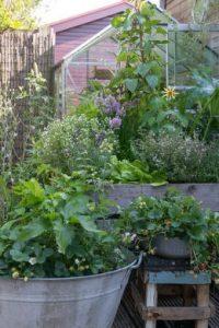 Rośliny wieloletnie sprawiają, że uprawianie ogródka warzywnego jest łatwe i przyjemne