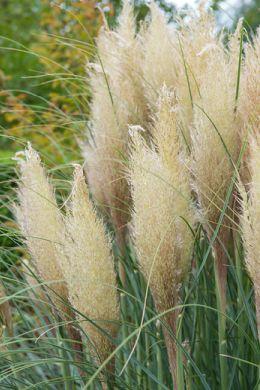 Trawa pampasowa ożywi każdy ogród image